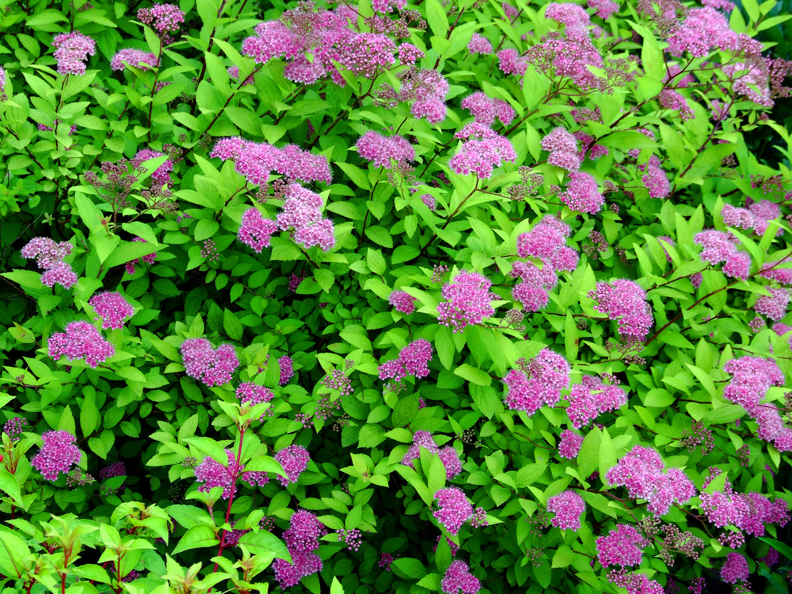 Spirea Tlc Shoptlc Shop